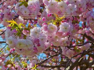 花,春,桜,景色,鮮やか,サクラ,八重桜,カラー,さくら,ブロッサム