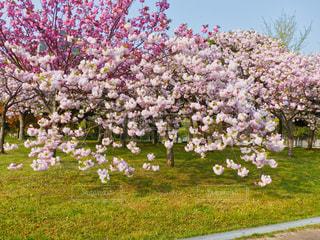 花,春,桜,景色,サクラ,八重桜,さくら,ブロッサム