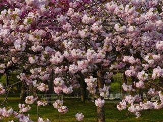 春,桜,景色,鮮やか,サクラ,八重桜,さくら,ブルーム,ブロッサム,配置,かなり,フローラ