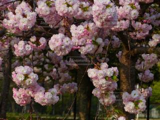 花,春,桜,景色,鮮やか,サクラ,八重桜,草木,桜の花,さくら