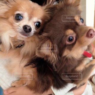 犬,動物,チワワ,茶色,2匹,愛犬