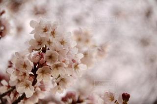 春の写真・画像素材[1968262]