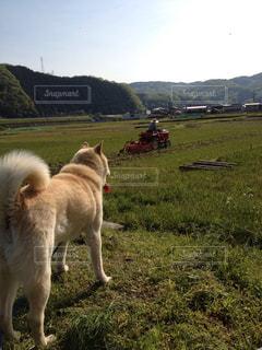 犬,空,動物,屋外,景色,草,新緑,田んぼ,稲,米,田植え,わんちゃん,日中,耕運機