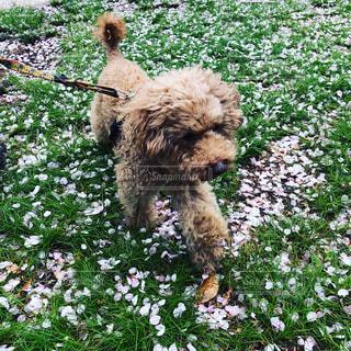 犬,公園,桜,花びら,いぬ,トイプードル,コントラスト,さくら