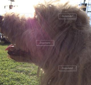 犬,横顔,プードル,トイプードル,ドッグ,ワンコ,光り