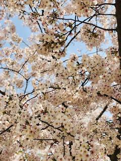 さくら桜🌸の写真・画像素材[3083555]