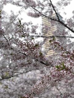 高層ビルと桜の写真・画像素材[3086385]