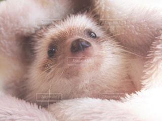 動物,ふわふわ,ペット,ハリネズミ,タオル,小動物,ベージュ,はりねずみ,ミルクティー色