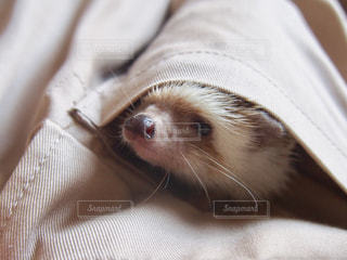動物,ペット,ハリネズミ,小動物,ベージュ,はりねずみ,ポケット,ミルクティー色