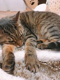 猫,動物,ペット,寝る,子猫,人物,脱力,しましま,ネコ,だるい