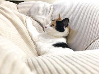 猫,動物,茶色,昼寝,日光,ねこ,布団,ベージュ,三毛猫,日本猫,もふもふ,ベッド,ミケ,ミルクティー色
