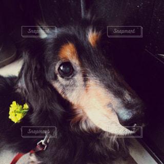 犬,動物,黒,いぬ,ダックスフント,見つめる,わんちゃん,ダックスフンド