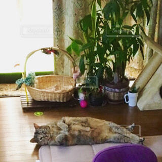 猫,リビング,屋内,茶色,リラックス,観葉植物,ごろ寝