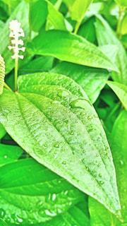 雨,緑,草,梅雨,天気,しずく,雨の日,甘梅雨
