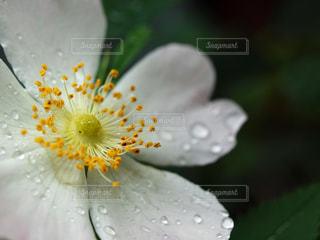 シュウメイギク〜雨滴と静寂の写真・画像素材[2032370]