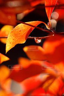 雨粒の中の紅葉の写真・画像素材[2118651]