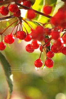 赤い果実の接写〜マンリョウの赤い実の写真・画像素材[2121034]