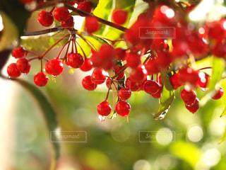 赤い果実の接写〜マンリョウの赤い実〈ワイドver.〉の写真・画像素材[2122702]