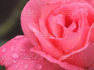 バラと雫の写真〜雨粒のセレナーデの写真・画像素材[2123467]
