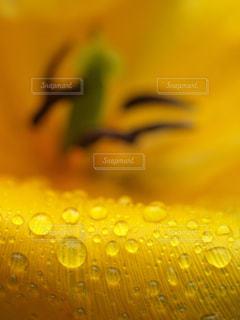 自然,花,春,植物,フラワー,黄色,水滴,チューリップ,キラキラ,水玉,雫,しずく,潤い