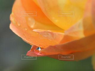 自然,花,雨,植物,フラワー,黄色,水滴,バラ,水玉,雫,しずく,マクロ,潤い