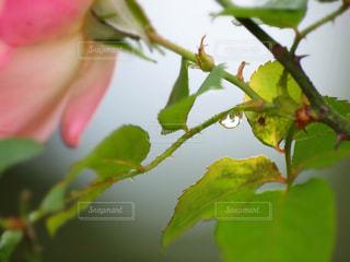 自然,花,雨,緑,植物,フラワー,水滴,バラ,草,水玉,雫,しずく,ドロップ,草木,フレッシュ,潤い