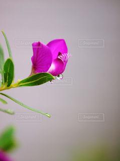 自然,植物,フラワー,紫,水滴,草,水玉,雫,しずく,マクロ,潤い