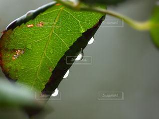 緑の葉と雫のクローズアップ〜雨粒の音階の写真・画像素材[2133966]