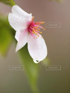 自然,花,春,桜,雨,植物,フラワー,水滴,水玉,雫,しずく,草木,マクロ,潤い