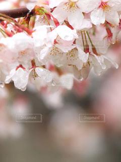 自然,花,春,桜,雨,緑,植物,フラワー,水滴,水玉,雫,しずく,ドロップ,草木,フレッシュ,マクロ,潤い