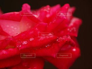 自然,花,雨,植物,赤,フラワー,水滴,バラ,水玉,雫,しずく,ドロップ,フレッシュ,マクロ,潤い