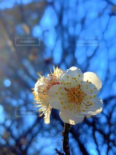 元日の白梅の写真・画像素材[3015217]