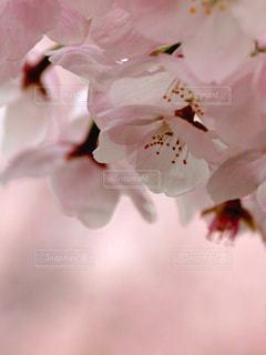 花,春,桜,木,ピンク,花見,景色,花びら,満開,優しい,お花見,イベント,新鮮,クローズアップ,草木,ソメイヨシノ,穏やか,マクロ