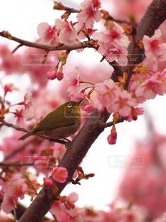 花,春,桜,鳥,木,ピンク,花見,樹木,お花見,イベント,メジロ,小鳥,河津桜,蜜,ブロッサム,バードウォッチング