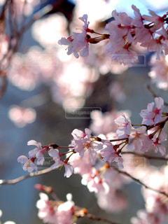 花,春,桜,木,花見,花びら,鮮やか,満開,爽やか,お花見,キラキラ,イベント,陽射し,草木,桜の花,ソメイヨシノ,ブルーム,ブロッサム,花冷え,春風