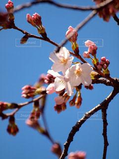 空,花,春,木,屋外,ピンク,枝,青い空,花見,鮮やか,樹木,つぼみ,お花見,イベント,陽射し,草木,桜の花,ソメイヨシノ,ブロッサム