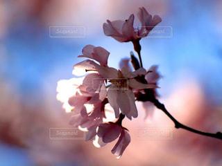 花,春,桜,木,枝,花見,花びら,爽やか,お花見,イベント,陽射し,景観,草木,桜の花,さくら,揺れる,ブルーム,ブロッサム,春一番,春風,さわさわ