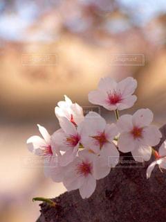 花,春,木,ピンク,花束,花見,景色,満開,お花見,イベント,夕陽,陽射し,日向,草木,ソメイヨシノ,ブルーム,ブロッサム,フローラ