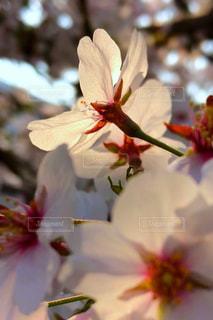 花,春,桜,木,晴れ,青空,花見,景色,花びら,お花見,イベント,夕陽,クローズアップ,草木,望遠,透け感,ブルーム,ブロッサム,春空,フローラ