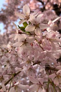 花,春,桜,木,屋外,花見,景色,満開,お花見,イベント,枝垂れ桜,可憐,草木,桜の花,さくら,ブルーム,ブロッサム,春空