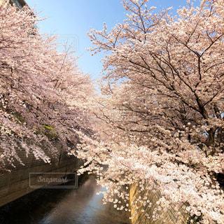 花,春,桜,木,晴れ,青空,川,花見,荘厳,満開,お花見,イベント,河川,ソメイヨシノ,春空,春風