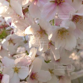 花,春,ピンク,花見,景色,花びら,満開,優しい,お花見,ブーケ,ふんわり,陽射し,優雅,草木,桜の花,穏やか,さくら,ポカポカ,ブルーム,ブロッサム