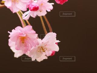 花,春,桜,屋内,木,ピンク,花見,花びら,鮮やか,サクラ,優しい,お花見,オシャレ,イベント,可愛い,八重桜,キュート,枝垂れ桜,可憐,草木,ブルーム,枝垂桜,揺らぎ,ブロッサム,フローラ
