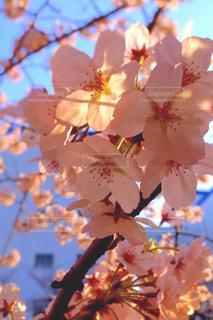 花,春,桜,木,屋外,朝日,青空,花見,景色,サクラ,樹木,お花見,イベント,草木,桜の花,ソメイヨシノ,さくら,ブルーム,ブロッサム