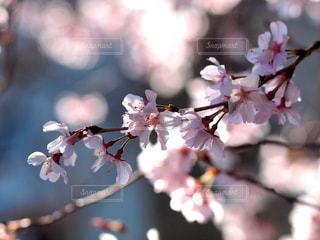 花,春,桜,木,花見,光,サクラ,お花見,キラキラ,イベント,陽射し,草木,桜の花,川面,さくら,ブロッサム,春風
