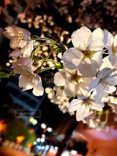花,春,桜,夜,夜景,花見,夜桜,景色,街,サクラ,満開,お花見,灯り,イベント,街灯,草木,穏やか,ブロッサム