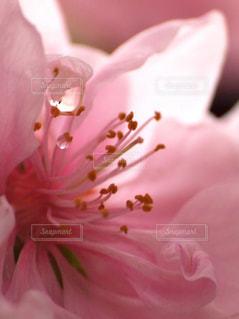 花,春,桜,木,ピンク,花見,花びら,サクラ,お花見,イベント,雫,八重桜,しずく,クローズアップ,草木,マクロ,ブルーム,ブロッサム,潤い,息吹き,フローラ