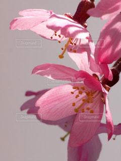 花,春,木,ピンク,赤,花見,花びら,鮮やか,お花見,イベント,陽射し,寒桜,可憐,草木,マクロ,望遠レンズ,ブルーム,ブロッサム