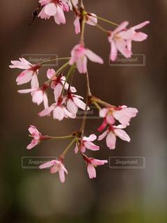 花,春,桜,木,ピンク,枝,花見,花びら,鮮やか,サクラ,お花見,イベント,風,カラー,ダンス,枝垂れ桜,可憐,草木,踊り,輝き,ブルーム,ブロッサム,春風