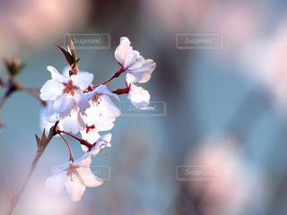 花,春,桜,木,ピンク,枝,花見,サクラ,ぼかし,爽やか,樹木,お花見,イベント,新鮮,陽射し,草木,桜の花,輝き,スペース,さくら,揺れる,望遠レンズ,爽快感,ブロッサム,春風,文字入れ,息吹き